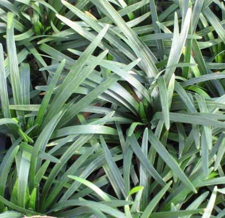 Ophiopogon japonicus Nanus Dwarf Mondo Grass
