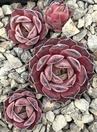 Sempervivum Lotus Hens and Chicks