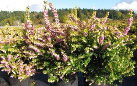 Erica x darleyensis Goldrush Pink Flower Hybrid Heath