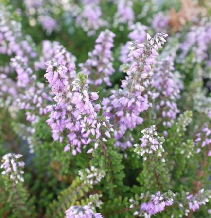 Calluna vulgaris Kerstin Mauve Flowering Heather