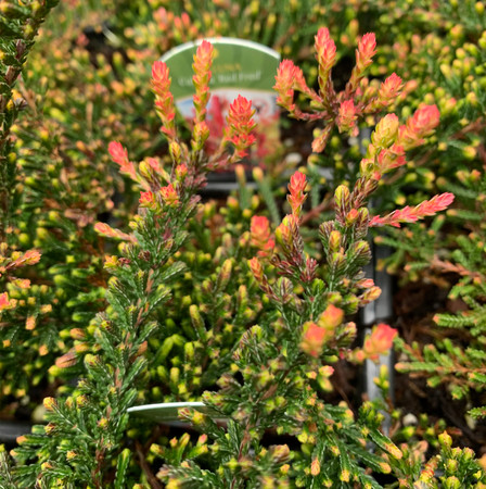 Calluna vulgaris Red Fred Lilac-Pink Flowering Heather