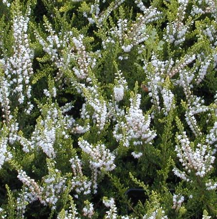 Calluna vulgaris Spring Cream White Flowering Heather