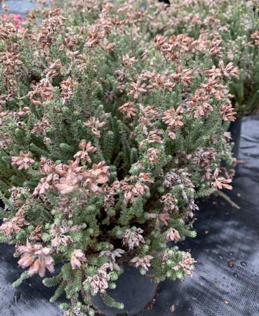 Erica tetralix Alba White Flower Crossed Leaf Heath