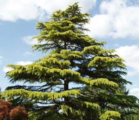 Cedrus deodara Aurea Golden Deodar Cedar