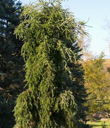 Abies alba Green Spiral Weeping Silver Fir