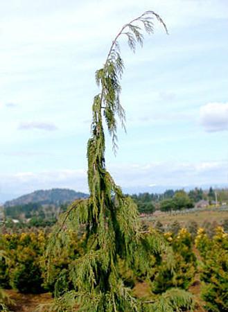 Chamaecyparis nootkatensis Pendula Weeping Alaska Cedar