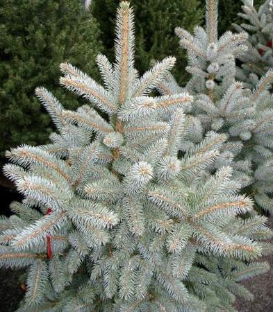 Picea pungens Glauca Baby Blue Eyes Dwarf Blue Spruce