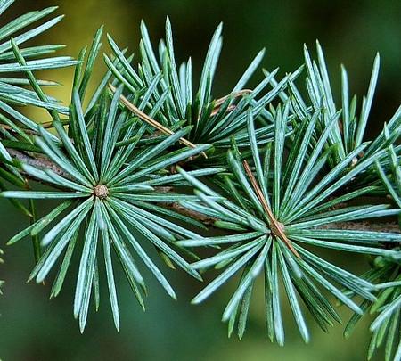 Cedrus atlantica 'Glauca' Blue Atlas Cedar Tree