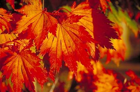 Acer japonicum Attaryi Full Moon Maple