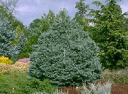 Abies lasiocarpa Arizonia Glauca Compacta Dwarf Blue Cork Fir