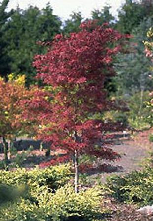 Acer palmatum Beni Otake Japanese Maple Tree