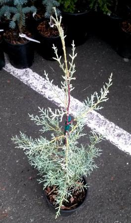 Blue Ice Arizona Cypress 3 year