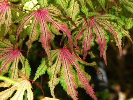 Acer palmatum Aka shigitatsu sawa Japanese Maple