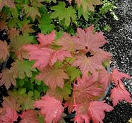 Acer circinatum Vine Maple