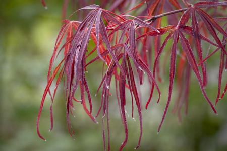 Acer palmatum 'Atrolineare' Japanese Maple Tree