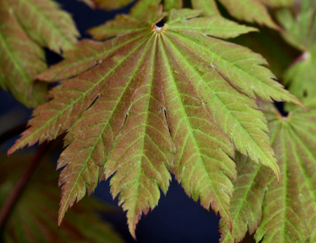 Acer japonicum ' O isami ' Full Moon Maple Tree spring color