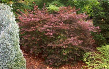 Acer palmatum 'Beni ubi gohon' Dwarf Japanese Maple Tree