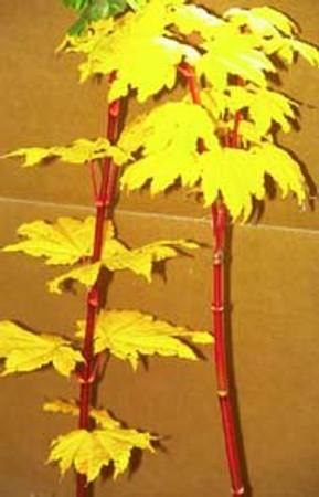 Acer circinatum Pacific Fire Vine Maple