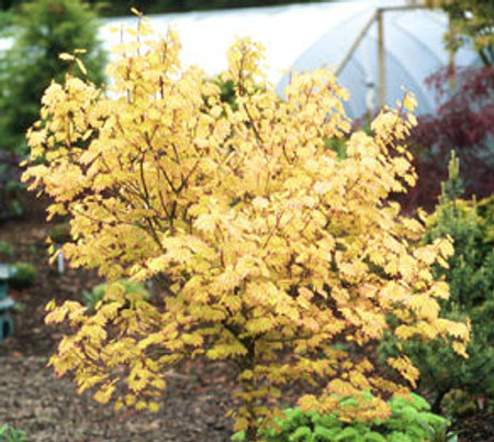 Acer circinatum Sunglow Vine Maple