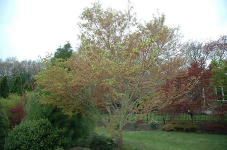 Acer palmatum 'Ao kanzashi' Japanese Maple Tree