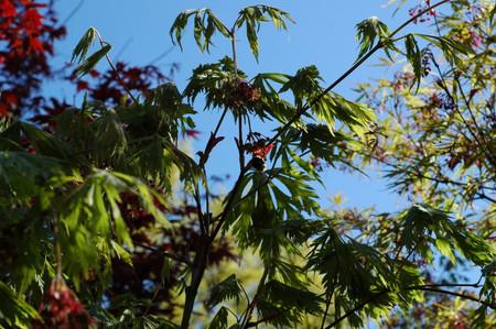 Acer japonicum ' Aconitifolium ' Fern Leaf Maple Summer