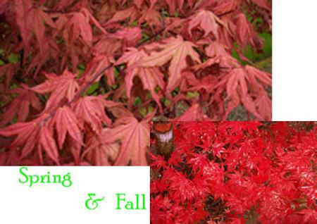 Acer palmatum Kasagi yama Japanese Maple Tree