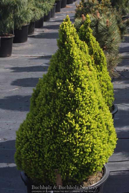 Picea glauca ' Gnome ' Miniature Alberta Spruce