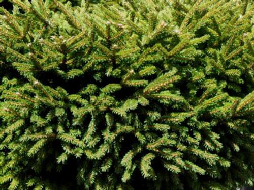 Picea orientalis 'Bergman's Gem' Dwarf Oriental or Caucasian Spruce