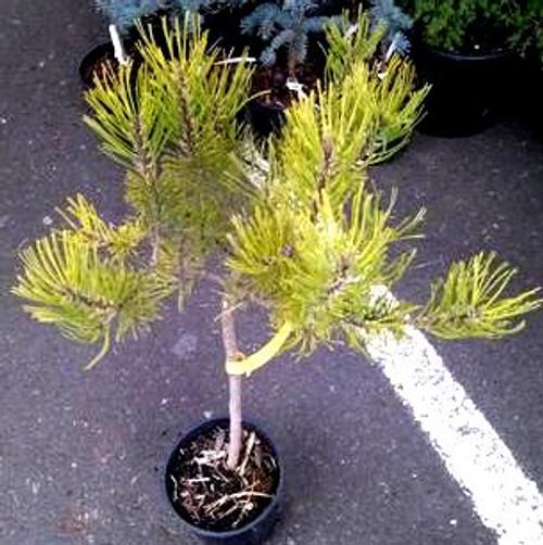 Pinus mugo 'Aurea' on standard