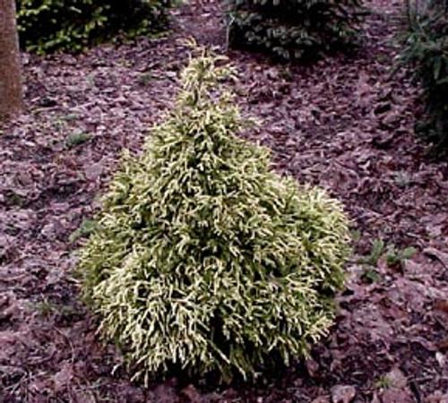 Cryptomeria japonica ' Knaptonensis ' Dwarf Japanese Cedar