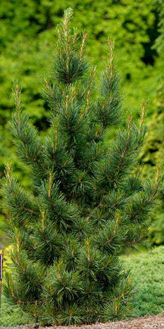 Pinus cembra Glauca