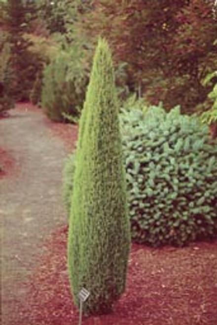 Juniperus communis 'Compressa' Dwarf Common Juniper