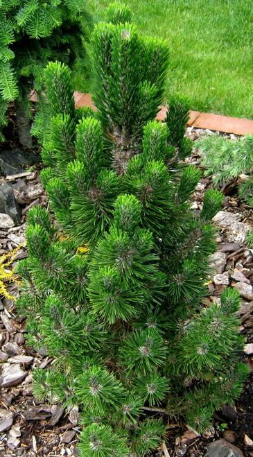 Pinus thunbergiana 'Kotobuki' Narrow Japanese Black Pine