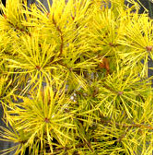 Gold Coin Scot's Pine