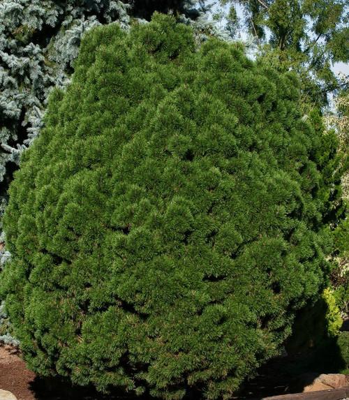 Dwarf Mugo Pine Big Tuna