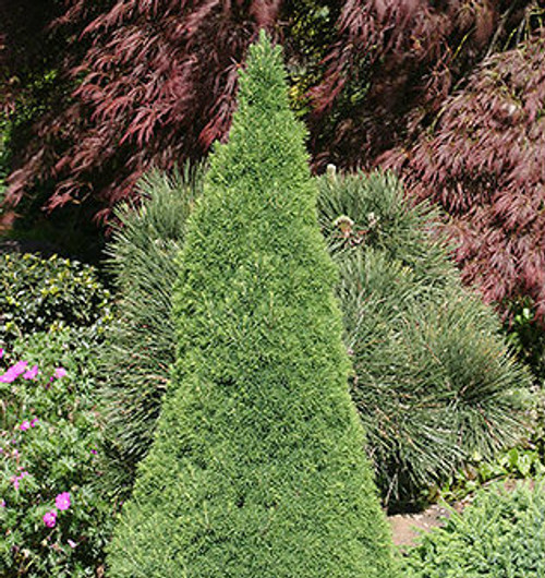 Jean's Dilly Alberta Spruce