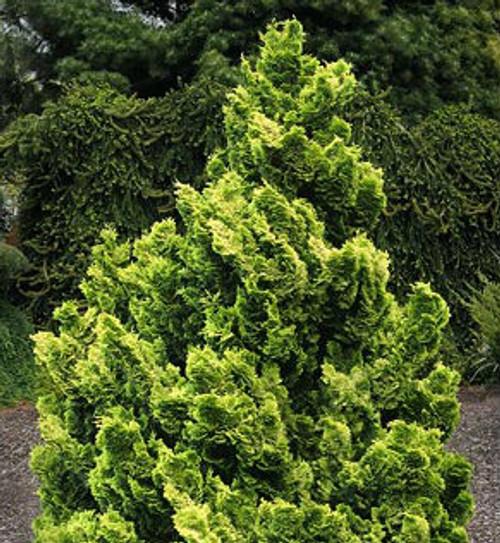 Dwarf Golden Japanese Hinoki Cypress Nana Lutea