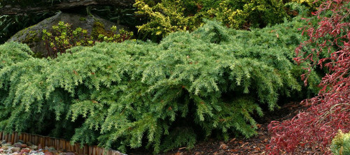 Spreading Deodar Cedar Prostrate Beauty