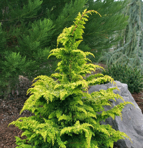 Golden Hinoki Cypress Fernspray Gold