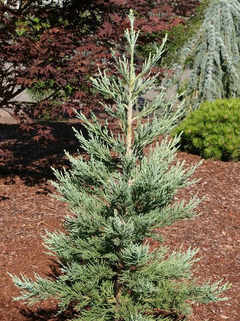 Blue Redwood