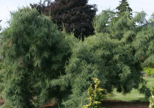 Pinus strobus Pendula Weeping Eastern White Pine