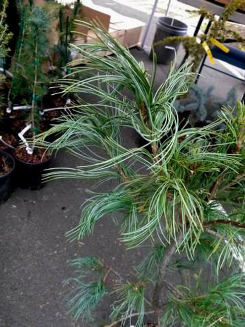 Twisting White Pine