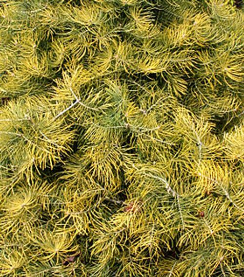 Wintergold Fir