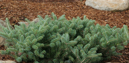 Dwarf Spreading Korean Fir