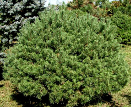 Dwarf Scot's Pine