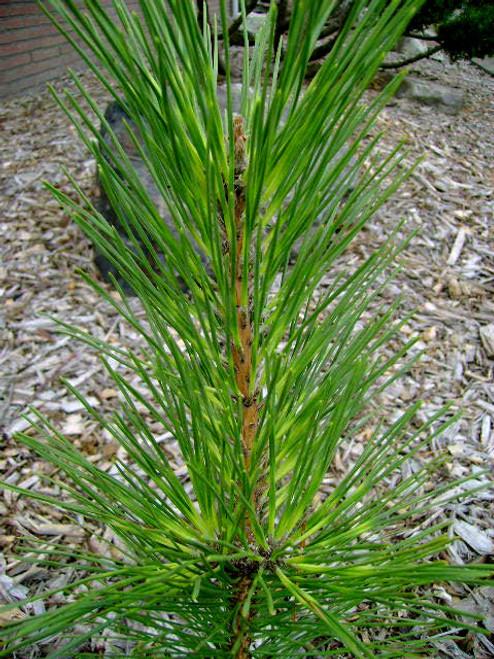 Pinus thunbergiana ' Oculus Draconis ' Variegated Japanese Black Pine