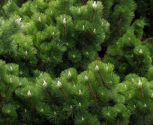 Thunderhead Japanese Black Pine
