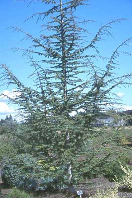 Cedrus brevifolia Cyprus Cedar