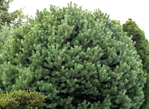 Pinus sylvestris Glauca Nana Blue Scot's Pine