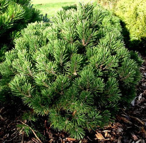 Pinus mugo Gnom Dwarf Mugo Pine